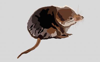 Creature Feature: Common Shrew